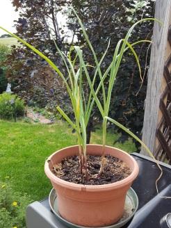 garlic-6-24-18