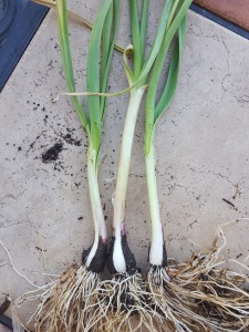 Garlic peeled to reveal root